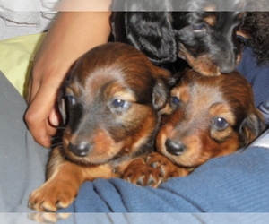 Dachshund Breeder in WINSTED, CT