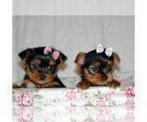 Main photo of Yorkshire Terrier Dog Breeder near CARSON, CA, USA