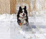 Miniature Australian Shepherd Breeder in GRAND JUNCTION, CO, USA