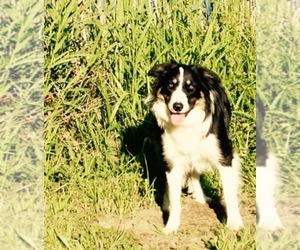 Border Collie Breeder in LAKE STEVENS, WA