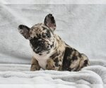 French Bulldog Breeder in PLANO, TX, USA