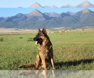 German Shepherd Dog Dog Breeder near HORN CREEK, CO, USA