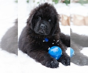 Newfoundland Dog Breeder near MEDINA, OH, USA
