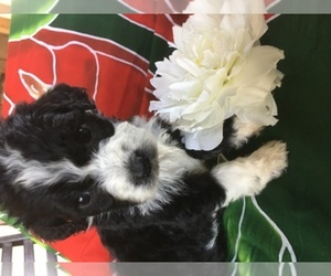 Sheepadoodle Dog Breeder near PRESCOTT, AZ, USA