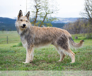 Main photo of Berger Picard Dog Breeder near DURANGO, CO, USA