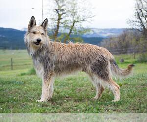 Berger Picard Dog Breeder near DURANGO, CO, USA