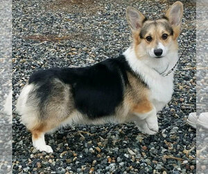Pembroke Welsh Corgi Dog Breeder near JURUPA VALLEY, CA, USA