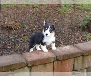 Pembroke Welsh Corgi Breeder in SALEM, OR