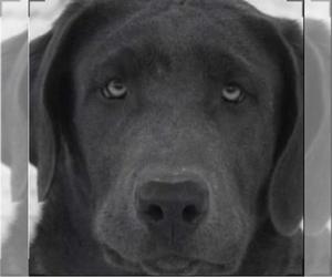Main photo of Labrador Retriever Dog Breeder near WARDENSVILLE, WV, USA