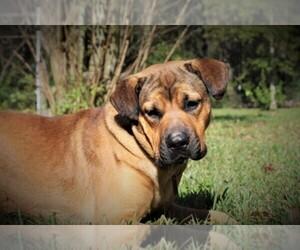 English Mastweiler Breeder in CONROE, TX, USA