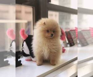 Main photo of Pomeranian Dog Breeder near MANHATTAN, NY, USA