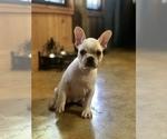 French Bulldog Breeder in RAYNE, LA, USA