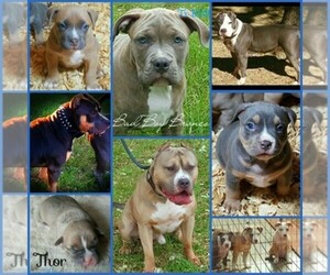 Main photo of American Bully Dog Breeder near CANYON LAKE, TX, USA