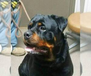 Rottweiler Breeder in MISHAWAKA, IN