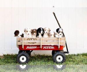Miniature American Shepherd Dog Breeder near PRAIRIE GROVE, AR, USA