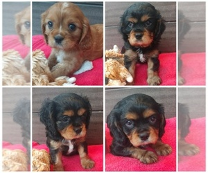 Main photo of Cavalier King Charles Spaniel Dog Breeder near WEST BLOOMFIELD, MI, USA