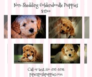 Goldendoodle Dog Breeder near LISBON, OH, USA