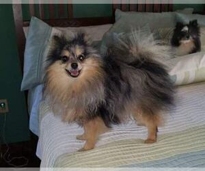 Pomeranian Dog Breeder in DINWIDDIE,  USA