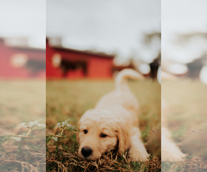 Main photo of Goldendoodle Dog Breeder near ABBEVILLE, SC, USA