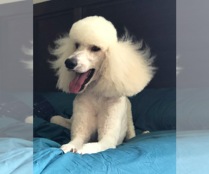 Poodle (Standard) Dog Breeder near SIMPSONVILLE, SC, USA