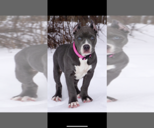 Main photo of American Pit Bull Terrier Dog Breeder near BUFFALO, NY, USA