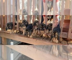 Bloodhound Dog Breeder near GRANDVIEW, TX, USA