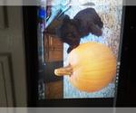Scottish Terrier Breeder in OVERLAND PARK, KS