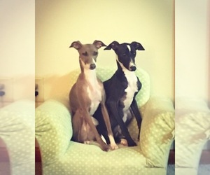 Italian Greyhound Dog Breeder near ALTON, IL, USA