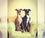 Italian Greyhound Breeder in ALTON, IL, USA