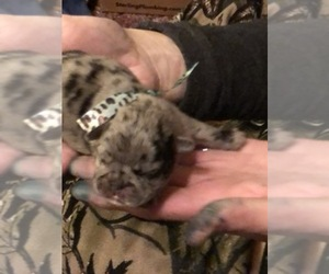 Frenchie Pug Dog Breeder in DAYTON,  USA