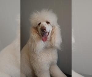 Poodle (Standard) Dog Breeder in AND,  USA