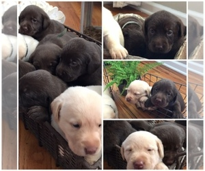 Labrador Retriever Dog Breeder in PORTLAND,  USA