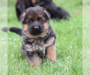 Main photo of German Shepherd Dog Dog Breeder near HIGH POINT, NC, USA