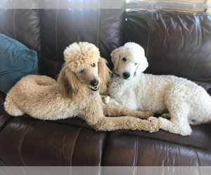 Poodle (Standard) Dog Breeder in BERKELEY SPGS,  USA