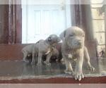 American Staffordshire Terrier Breeder in BROOKLYN, NY, USA