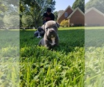 American Bully Breeder in VIRGINIA BEACH, VA, USA