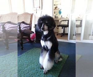 Poodle (Standard) Breeder in ENGLEWOOD, FL
