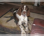 English Springer Spaniel Breeder in TOMBSTONE, AZ, USA