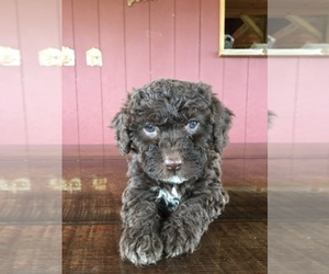 Main photo of Spanish Water Dog Dog Breeder near SEWARD, NE, USA