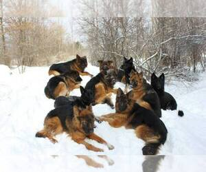 German Shepherd Dog Breeder in GATES MILLS, OH, USA