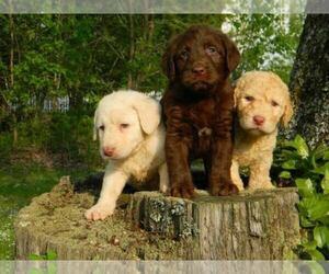 Main photo of Australian Labradoodle Dog Breeder near COMER, GA, USA