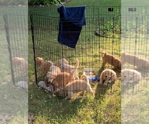 Main photo of Golden Retriever Dog Breeder near HARRISON TOWNSHIP, MI, USA
