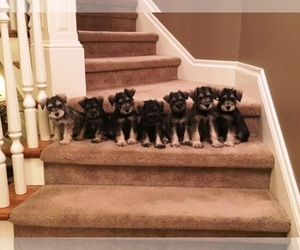 Schnauzer (Miniature) Breeder in COLUMBIA, MO