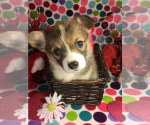 Main photo of Pembroke Welsh Corgi Dog Breeder near BEMIDJI, MN, USA