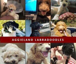 Main photo of Labradoodle Dog Breeder near HOUSTON, TX, USA
