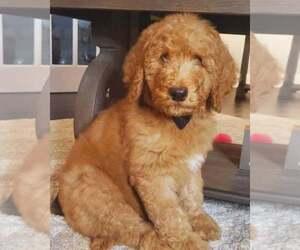 Poodle (Standard) Dog Breeder in BRONX,  USA
