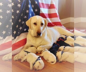 Labrador Retriever Breeder in HILLSBORO, OH, USA