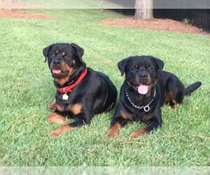 Rottweiler Breeder in SPRING LAKE, NC, USA