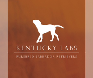 Main photo of Labrador Retriever Dog Breeder near BOWLING GREEN, KY, USA