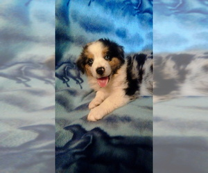 Australian Shepherd Dog Breeder in DUNCAN,  USA